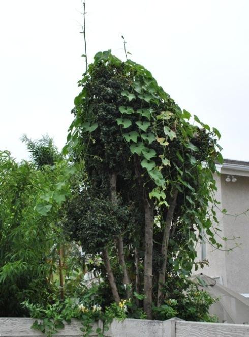 チャヨーテ瓜